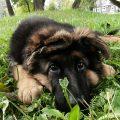jak wybrać hodowlę psów