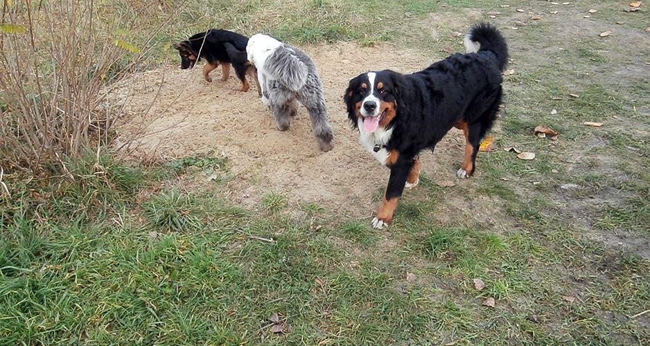 drugi pies w domu psy