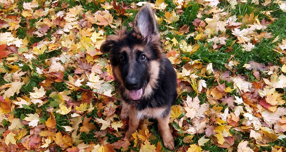 drugi pies w domu