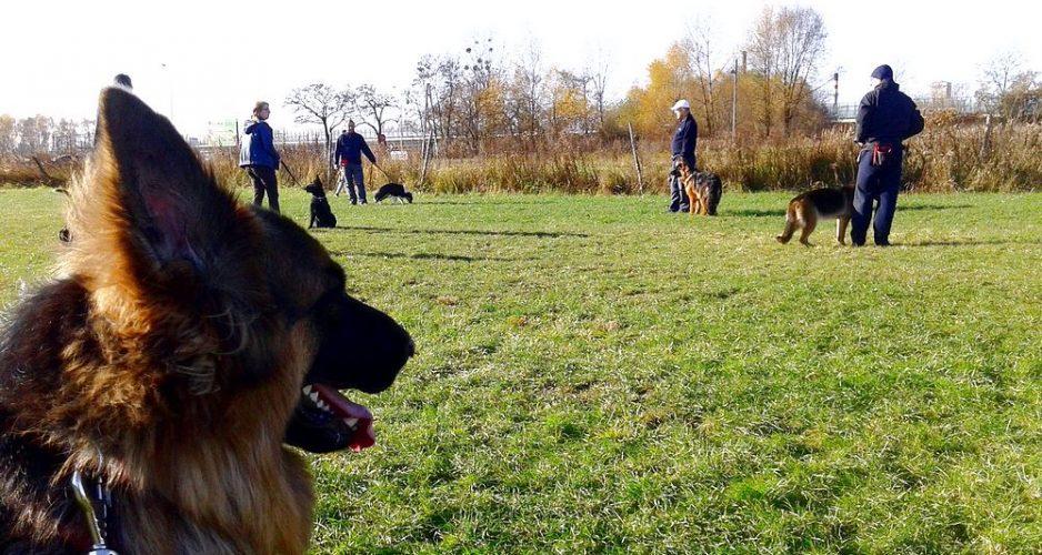 szkolenie psa owczarek niemiecki