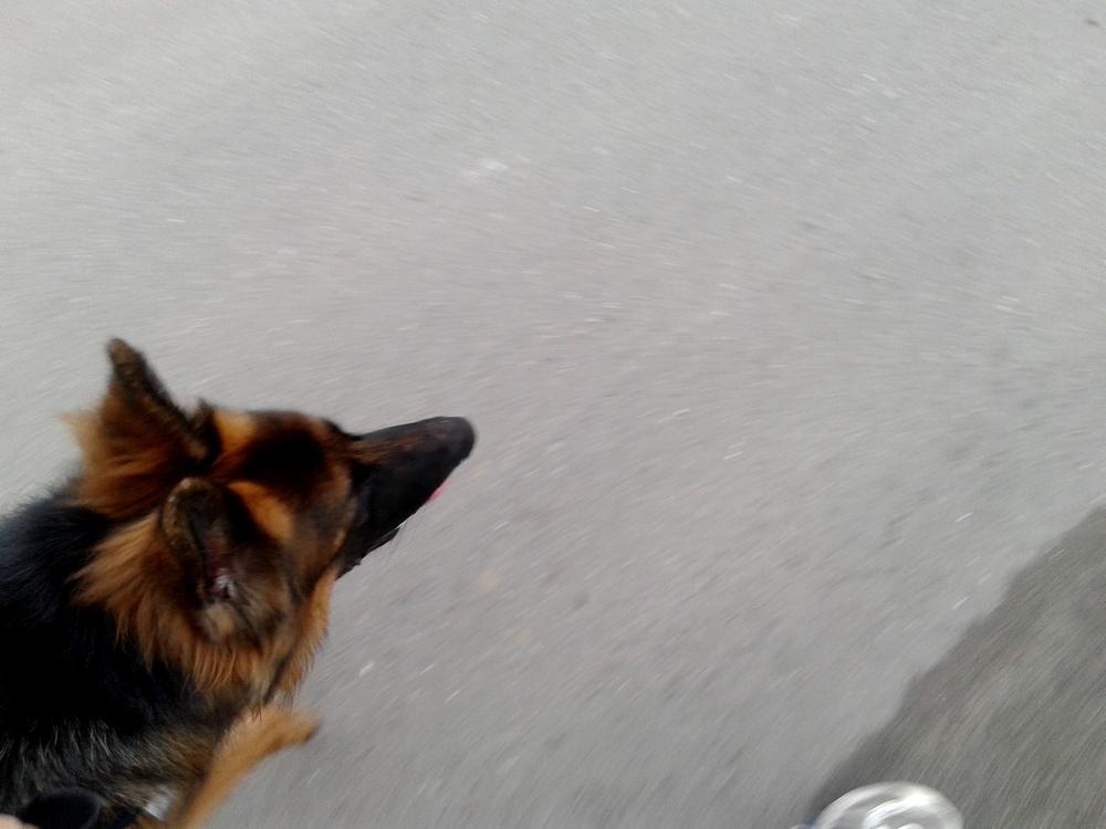 owczarek niemiecki bieganie z psem