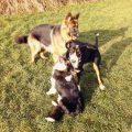 pies towarzyszący szkolenie
