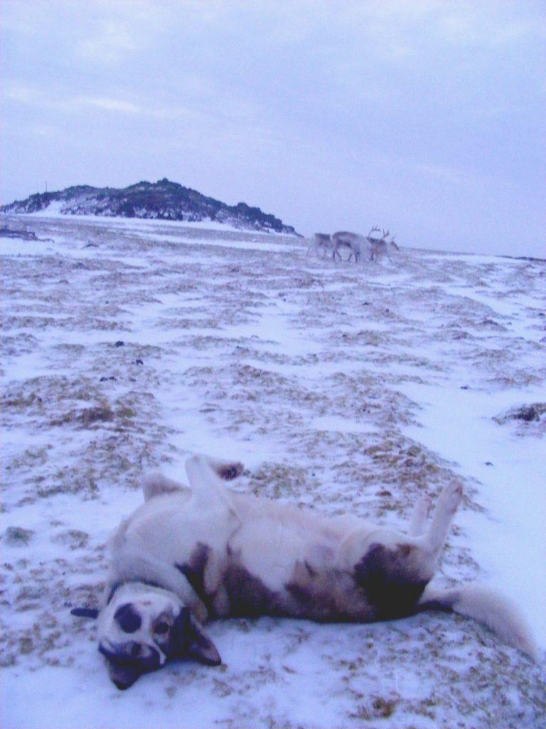 arktyczne psie zabawy