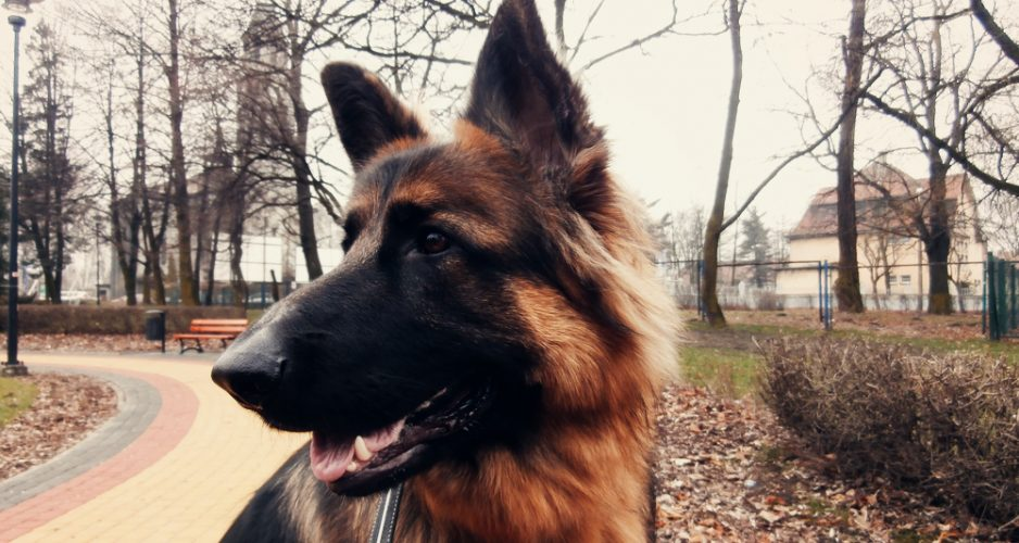 historia psa jak powstal pies domowy