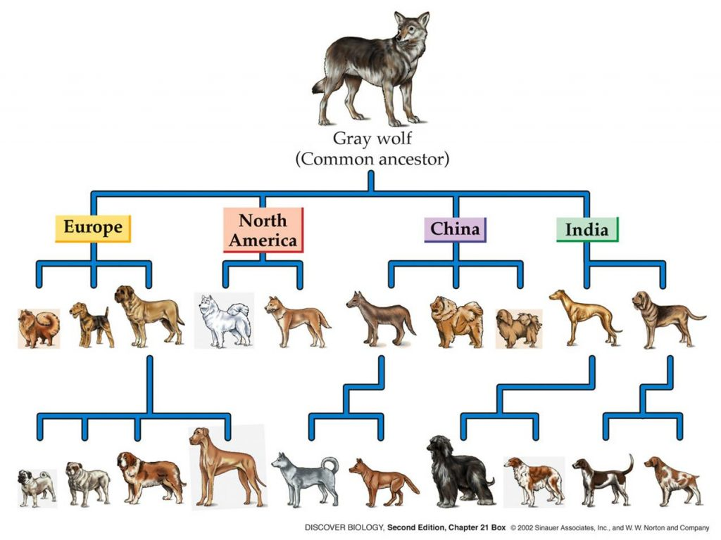 historia psa ewolucja wilka