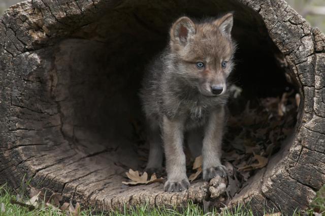 historia psa szczeniak wilka