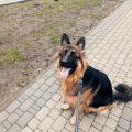 jak kupić psa owczarek niemiecki