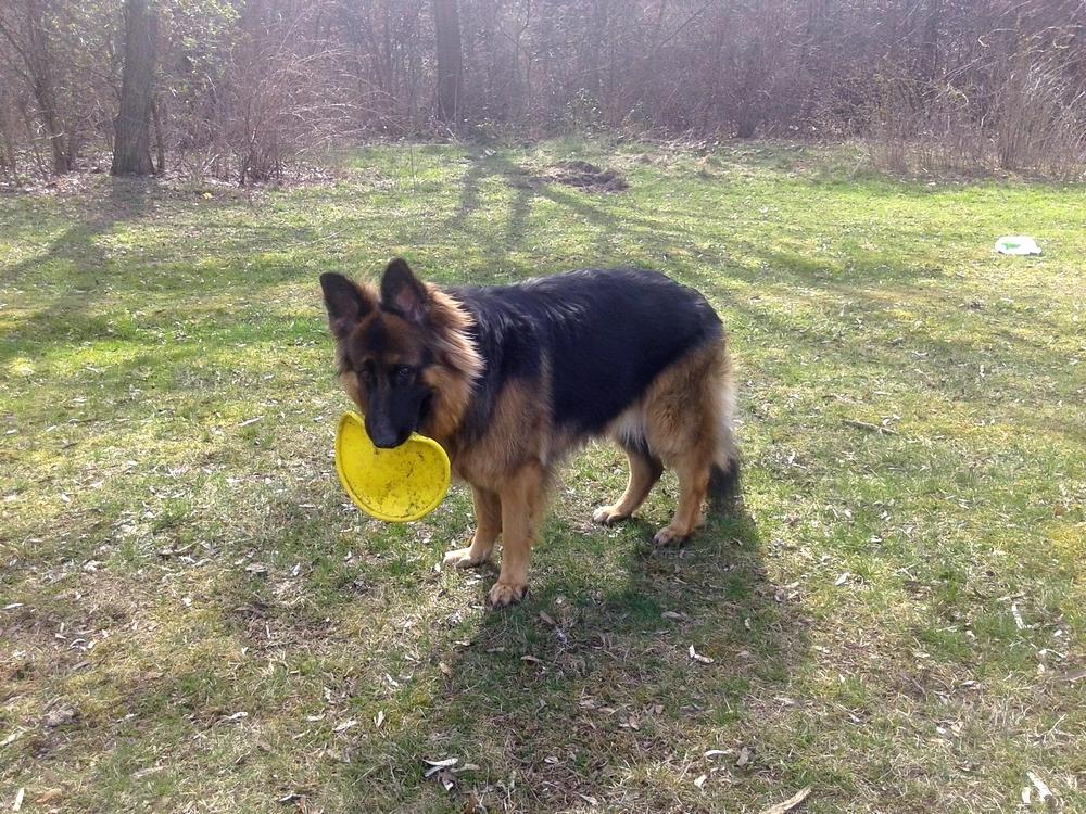 frisbee dla psa początki