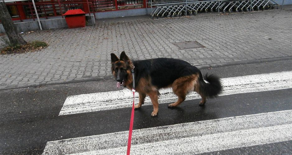 jak nauczyć psa chodzić na smyczy dzień 22