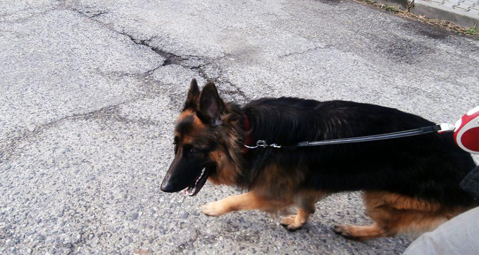jak nauczyć psa chodzić na smyczy jak ogarnąć psa