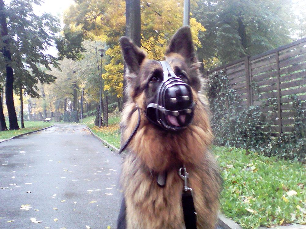 owczarek niemiecki uczymy psa samokontroli szkolenie