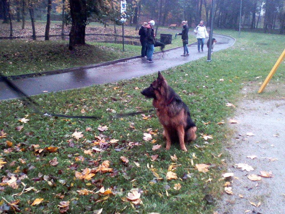 owczarek niemiecki uczymy psa samokontroli