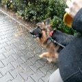 jak chodzić z psem na smyczy