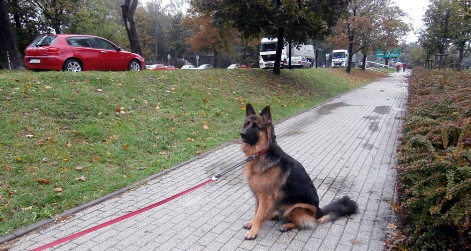 jak nauczyć psa chodzić przy nodze