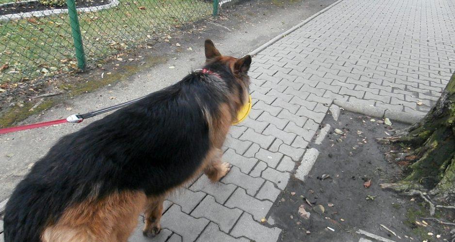 pies chodzi przy nodze