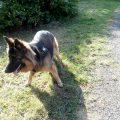 pies chodzi na smyczy przy nodze psie zabawy