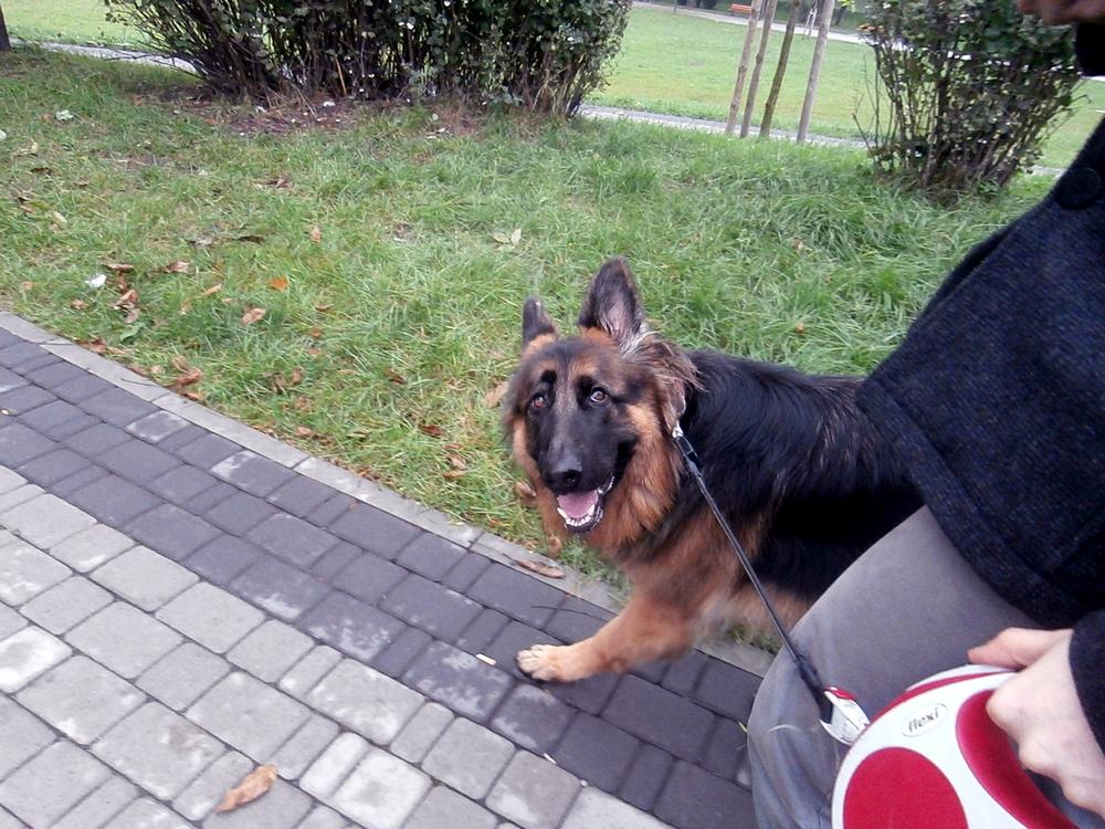 jak nauczyć psa chodzić na smyczy szkolenie