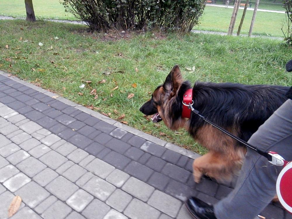 jak nauczyć psa chodzić na smyczy trening