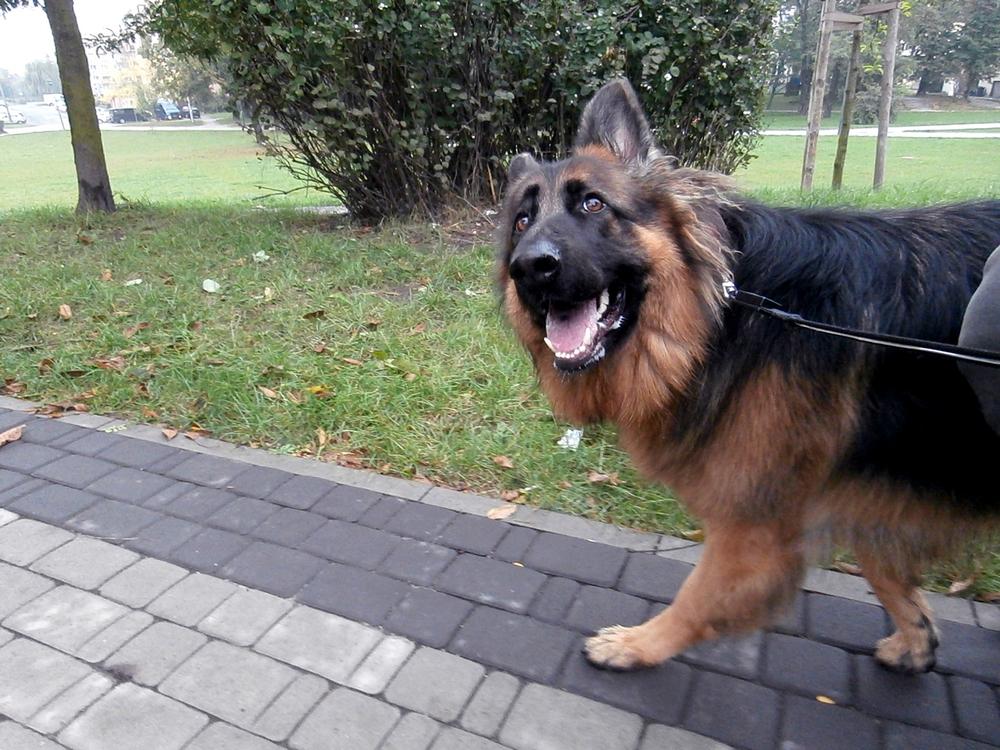 jak nauczyć psa chodzić na smyczy dzień 6