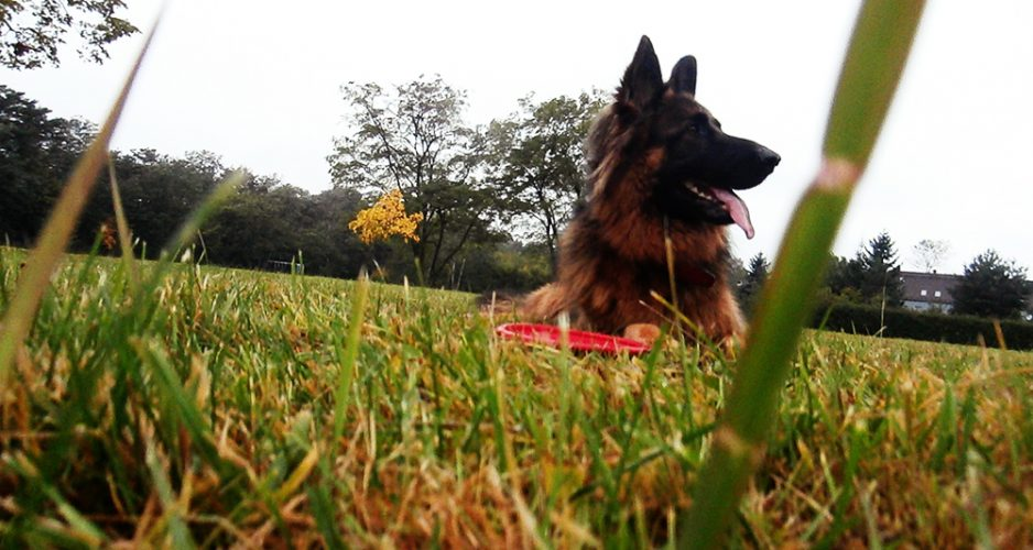 jak nauczyć psa chodzić na smyczy dzień 17