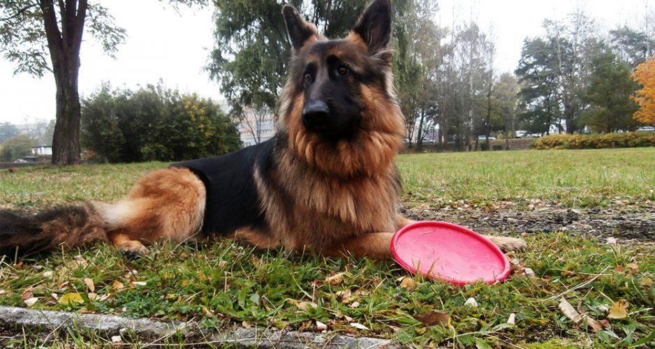 jak nauczyć psa chodzić na smyczy przy nodze