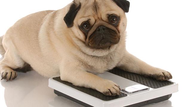 otyłość u psów