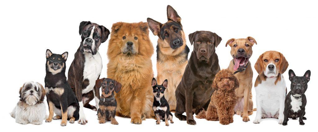 jak wybrać rasę psa poznaj rasy