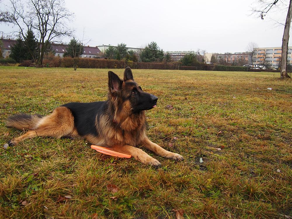 wychowanie nadpobudliwego psa legion owczarek niem