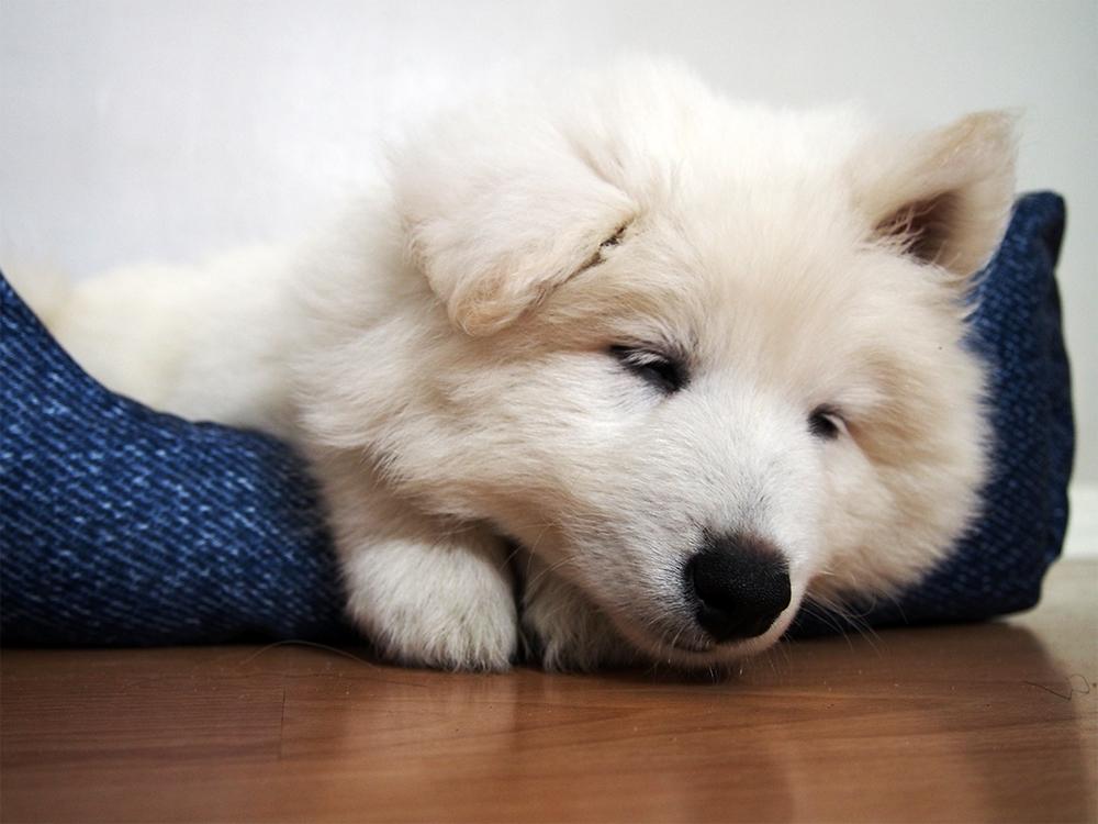 zabawa z psem szczeniak samoyed
