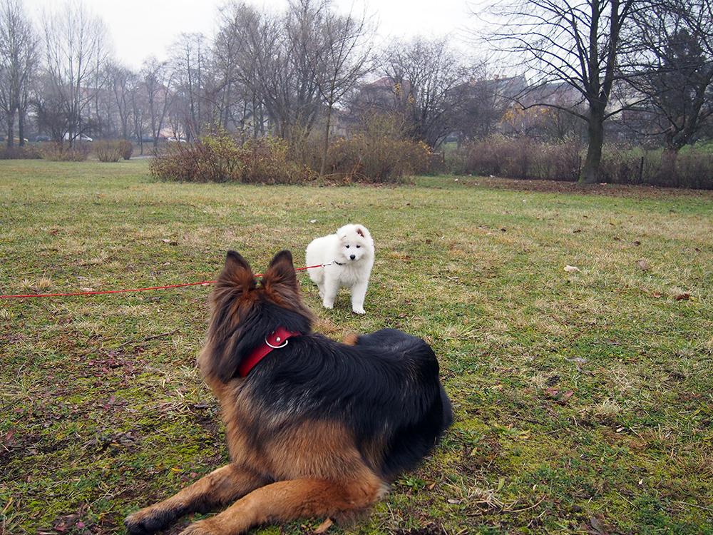 pierwszy miesiąc ze szczeniakiem dwa psy