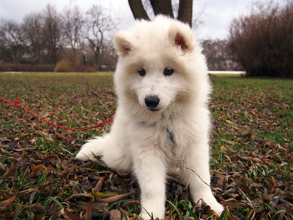 pies jako prezent świąteczny święta