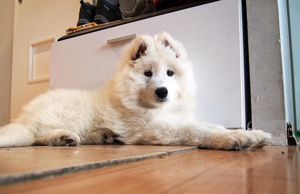 pies jako prezent świąteczny samoyed