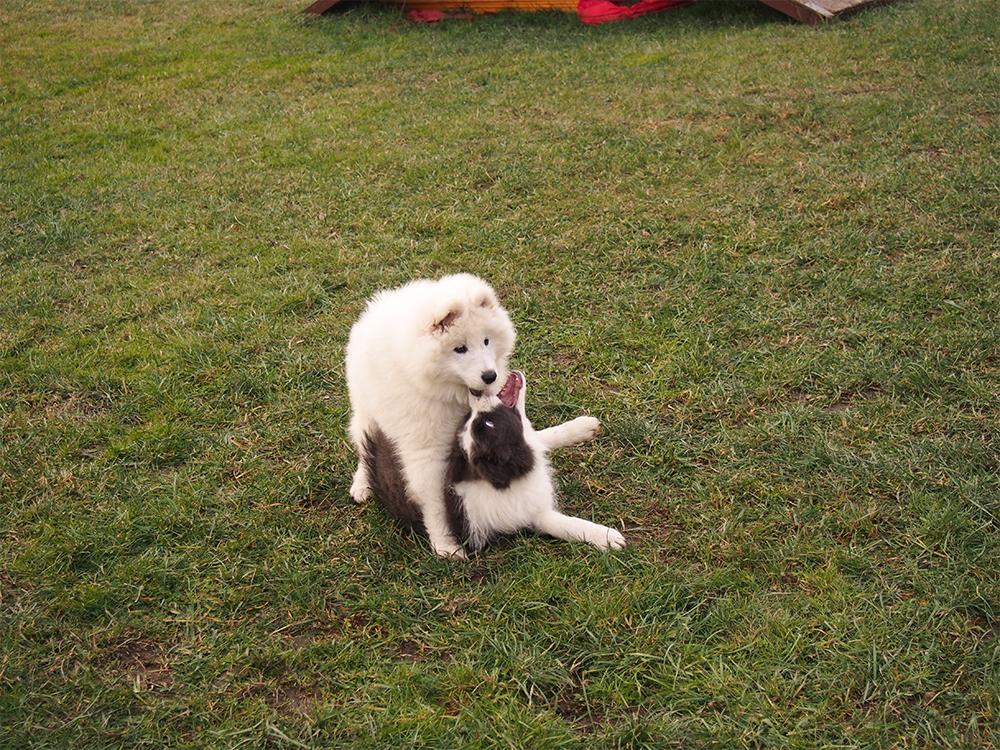 psie przedszkole szczeniaki