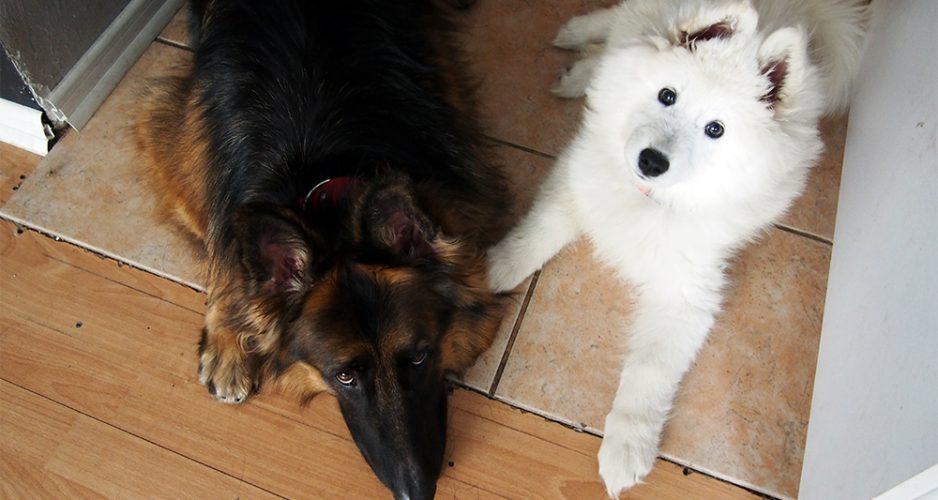 pies jako prezent świąteczny