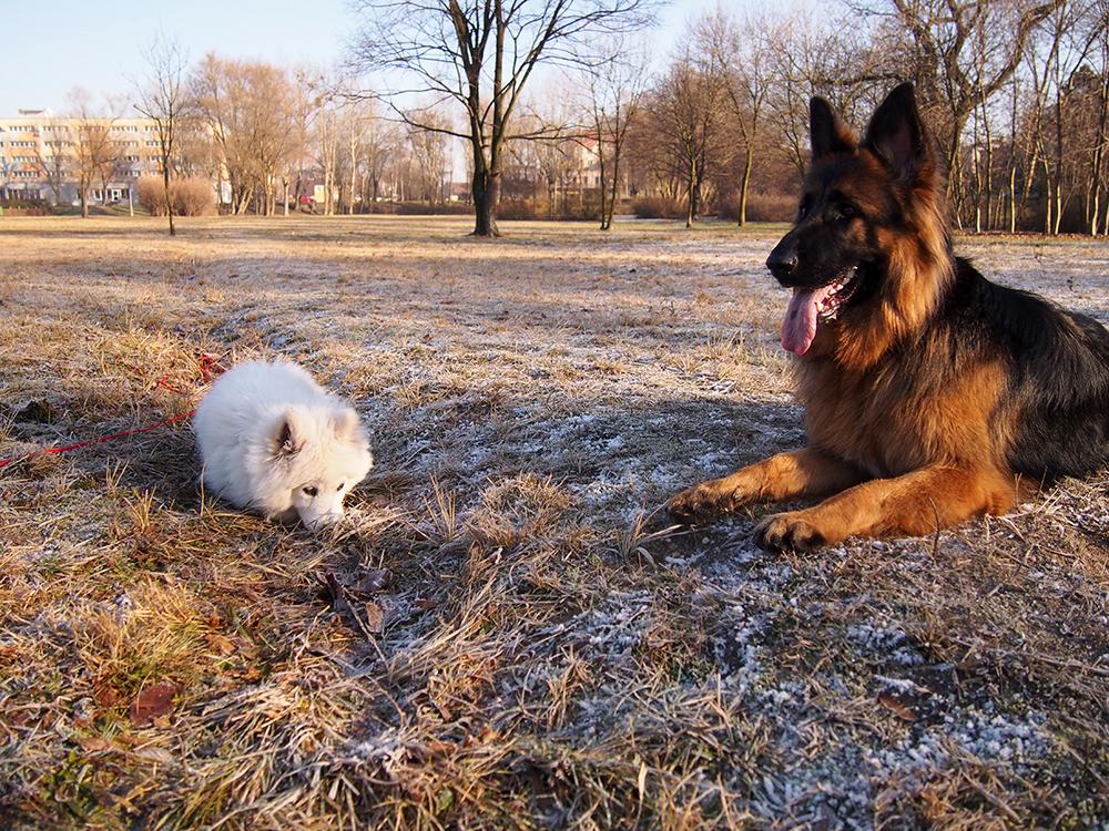 sylwester z dwoma psami owczarek niemiecki