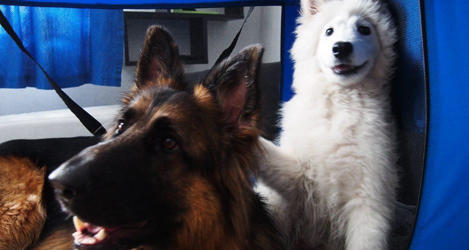 wystawy z psem