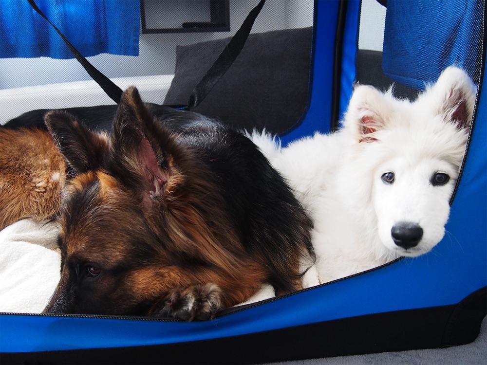 wystawy z psem jak zacząć