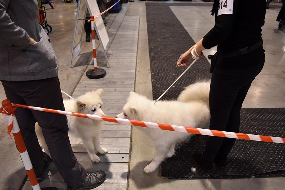 wystawy z psem na ringu