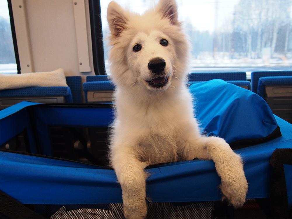 pies w pociągu szczeniak