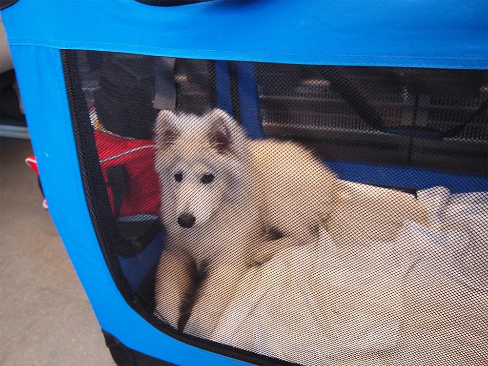 pies w pociągu samoyed