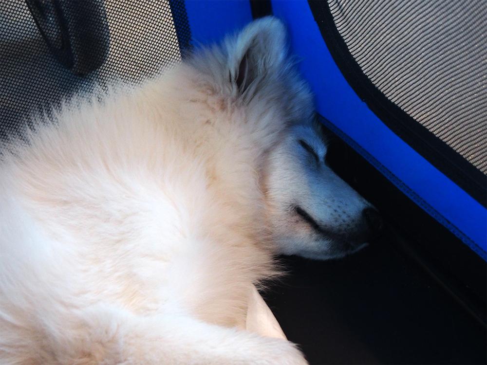 pies w pociągu samoyed szczeniak