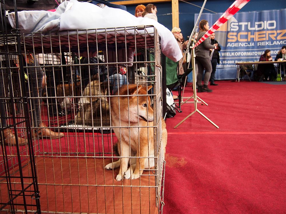 wystawa psów w bydgoszczy samoyed