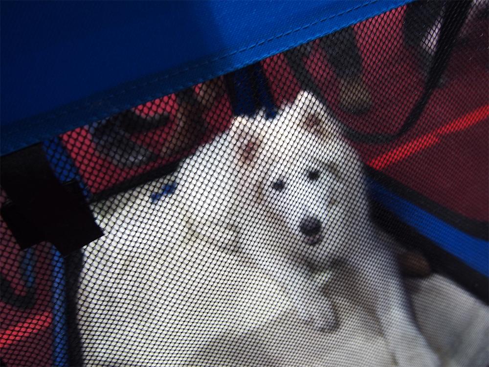 wystawa psów w bydgoszczy samoyed levi