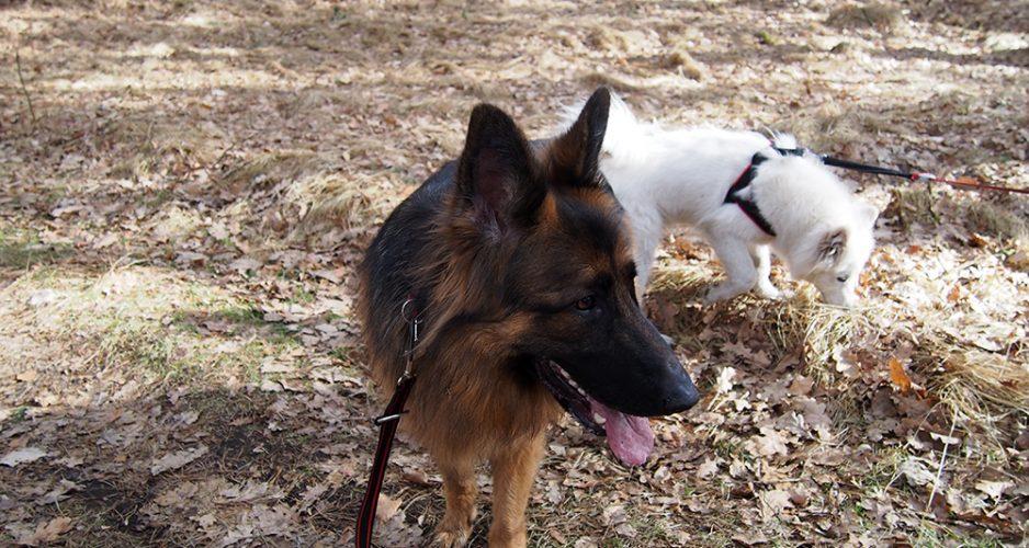 psy w lesie samoyed
