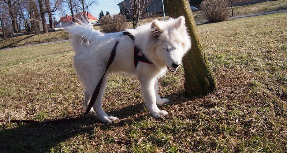 psie wyzwanie samoyed levi trening z psem