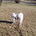 pies samoyed szczeniak levi