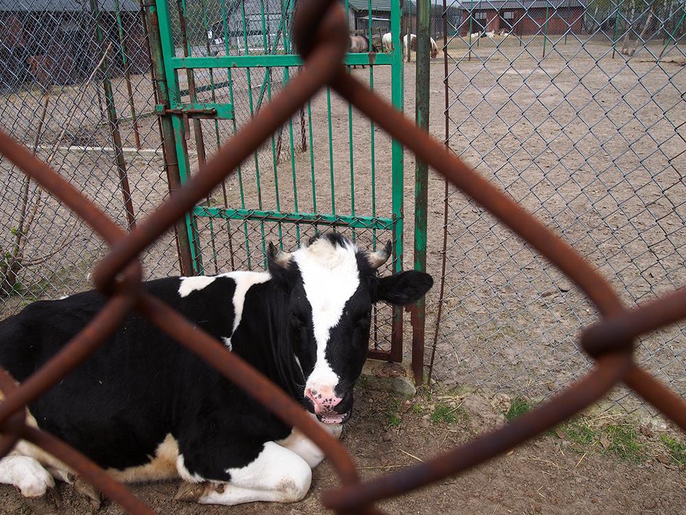 schronisko w korabiewicach krowa