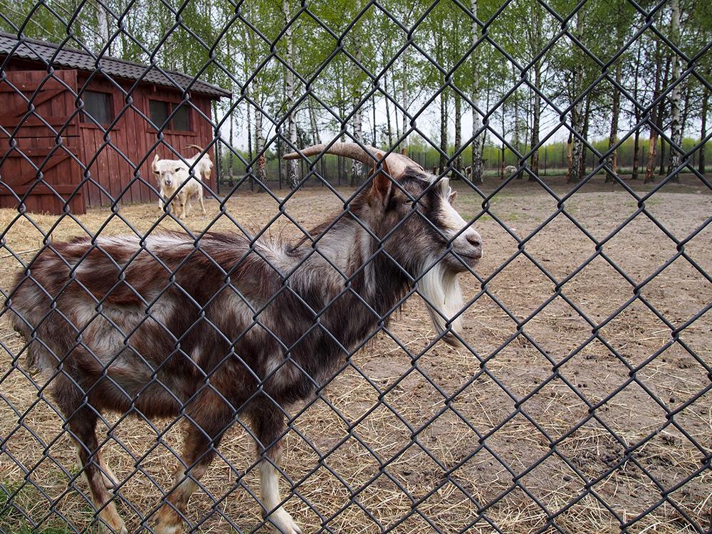 schronisko w korabiewicach koza