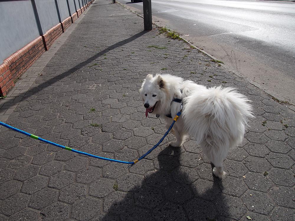 pies ciągnie na smyczy samoyed