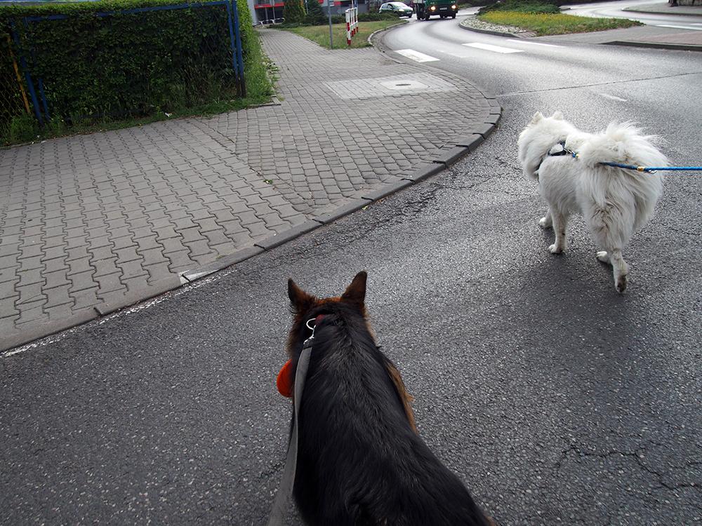 pies ciągnie na smyczy dwa psy